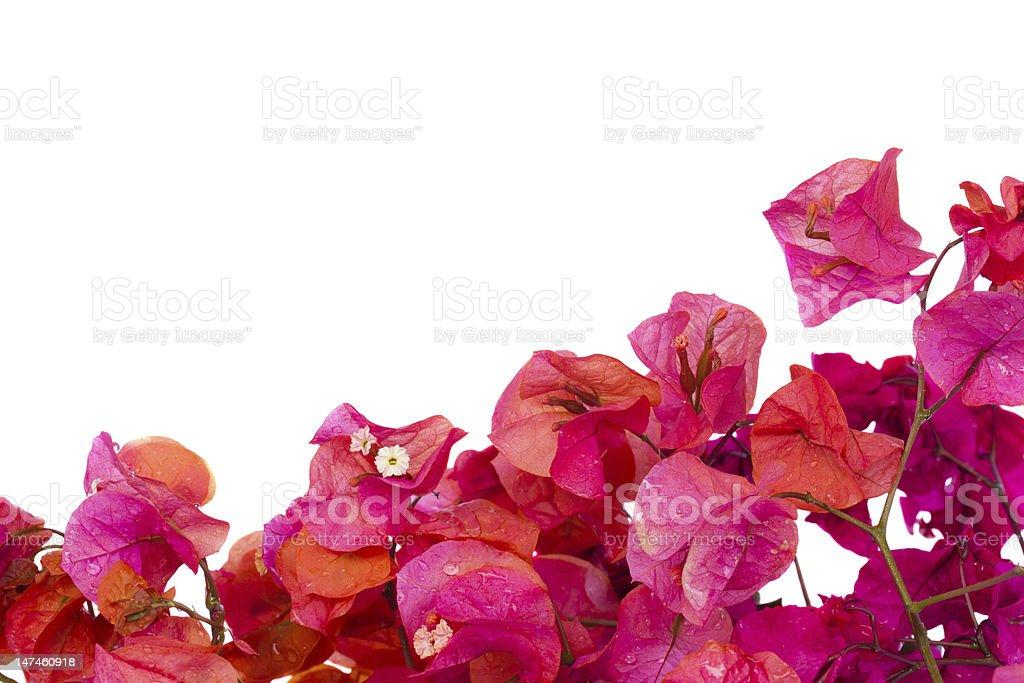 bougainvillea flowers frame stock photo