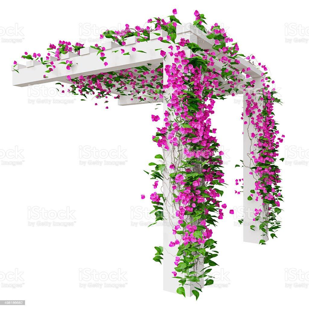 Bougainvillea flowers on pergola stock photo