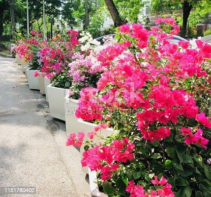 Beautiful Fresh Pink Bougainvillea Flowers or Paper Flowers Blooming in A Garden.
