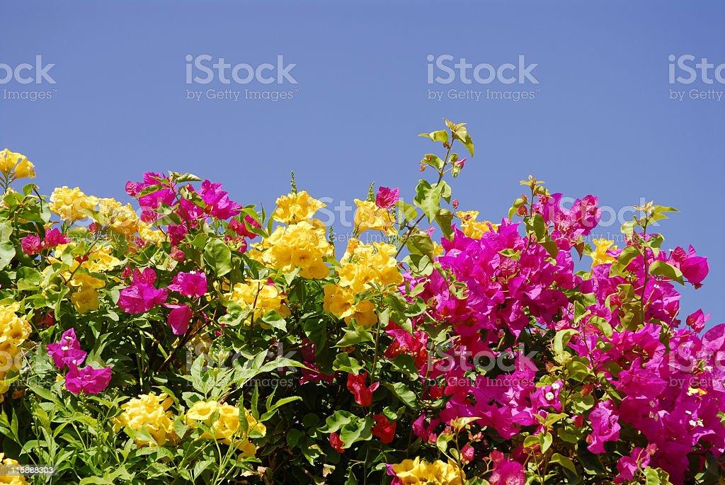 Bougainvillea flowers royalty-free stock photo