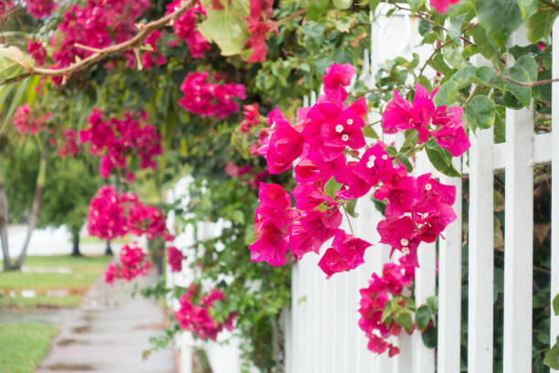 Bougainvillea flowers stock photo