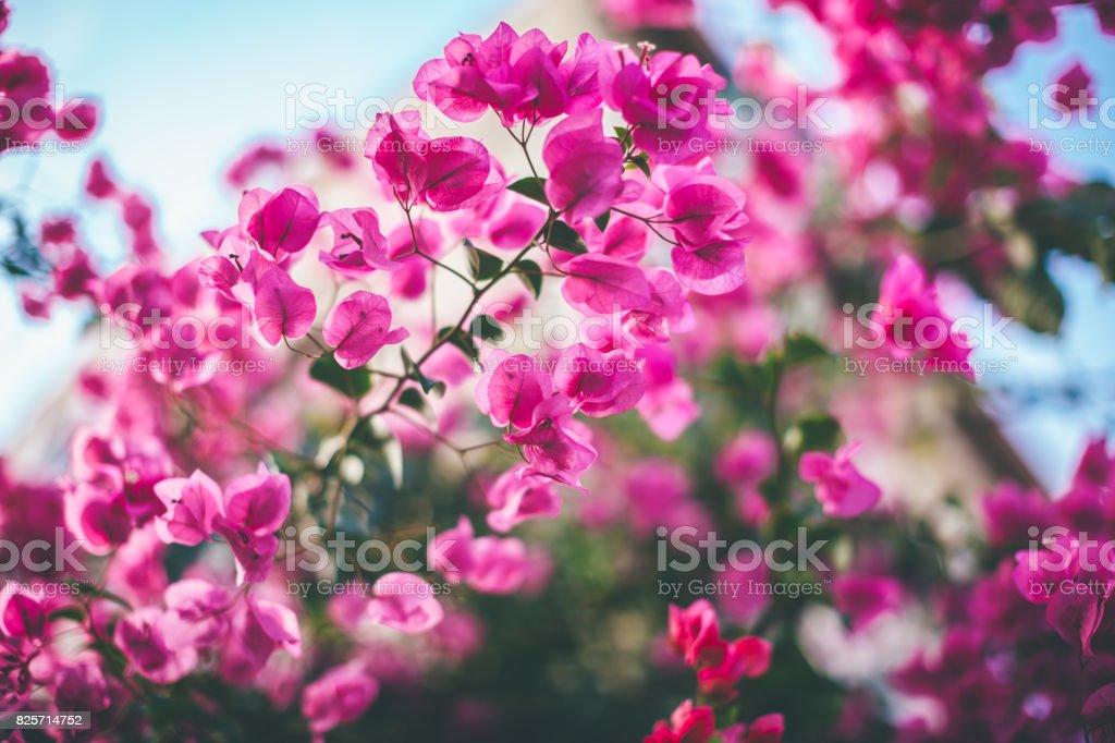 Bougainvillea flowers – zdjęcie
