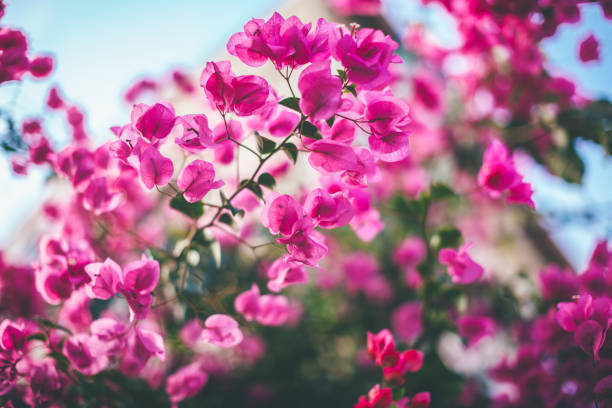 Buganvilia flores - foto de stock