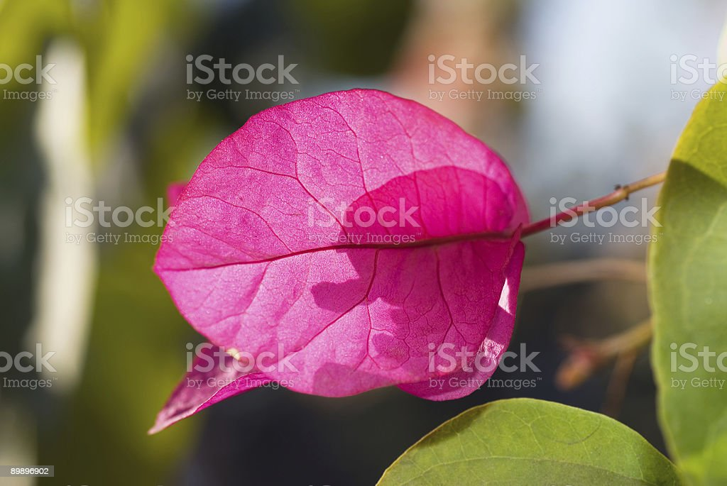 Buganvilia flores foto de stock libre de derechos
