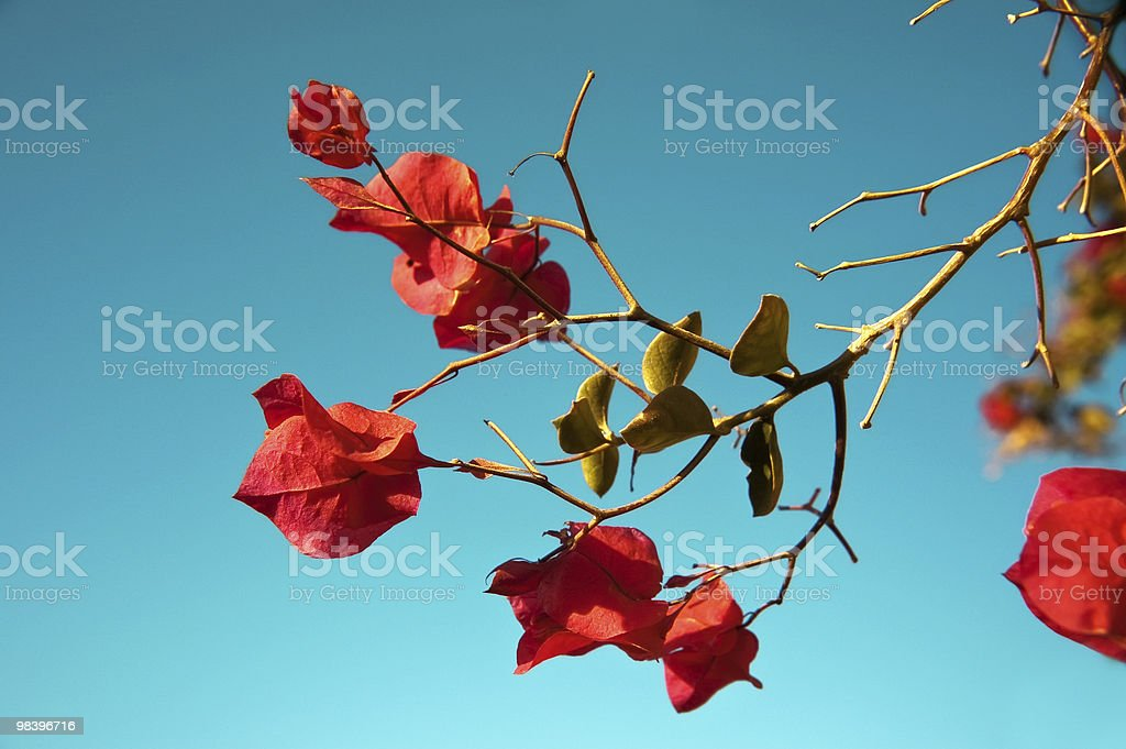 Bougainvillea glabra royalty-free stock photo