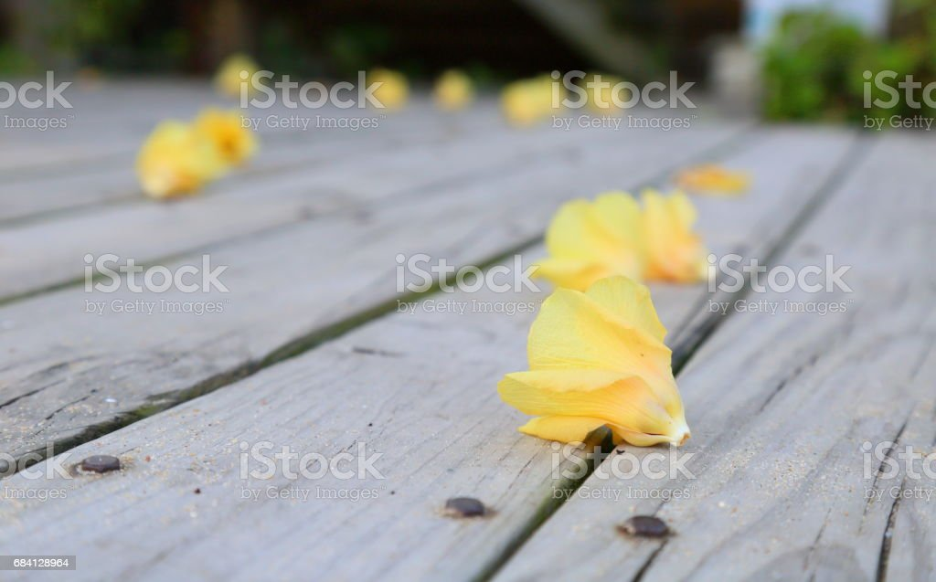 Bougainvillea glabraChoisy on wood foto stock royalty-free