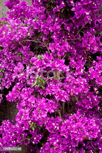 Bougainvillea hedge, full frame vertical view. Purple garden flower bed. A Coruna province, Galicia, Spain.