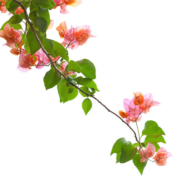 Bougainvillea isolated on white picture id170544987?b=1&k=6&m=170544987&s=612x612&w=0&h=tgcjsn9biphuf7v1lj h1ygwszdinah9duwie0xanis=
