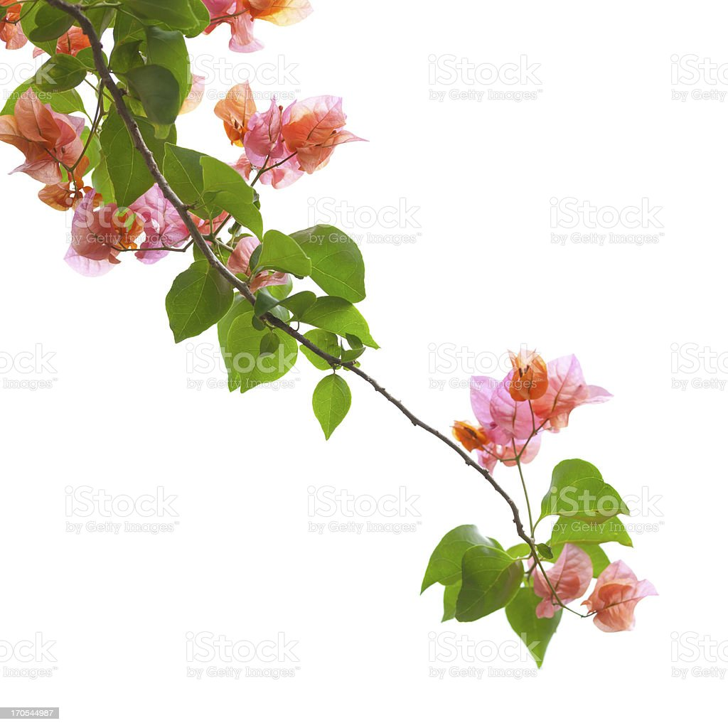 Bougainvillea isolated on white stock photo