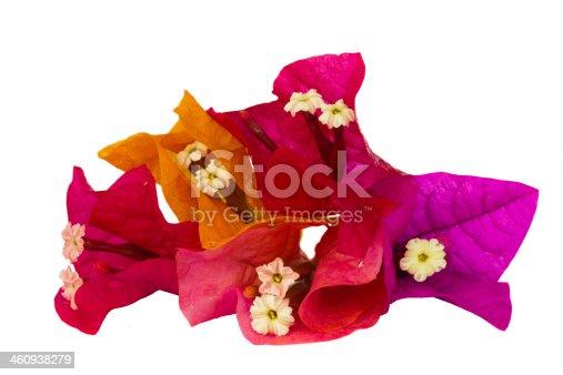 istock bougainvillea multicolored flowers 460938279