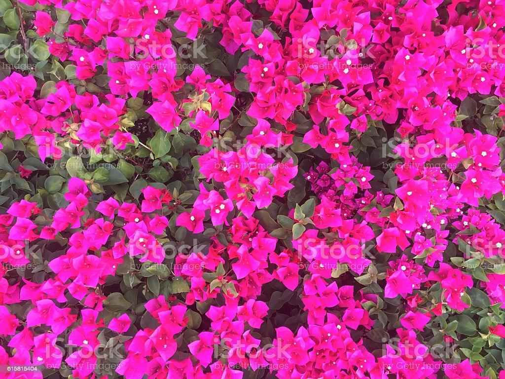 Bougainvillea Paper Flower In Colorful Color Stock Photo More