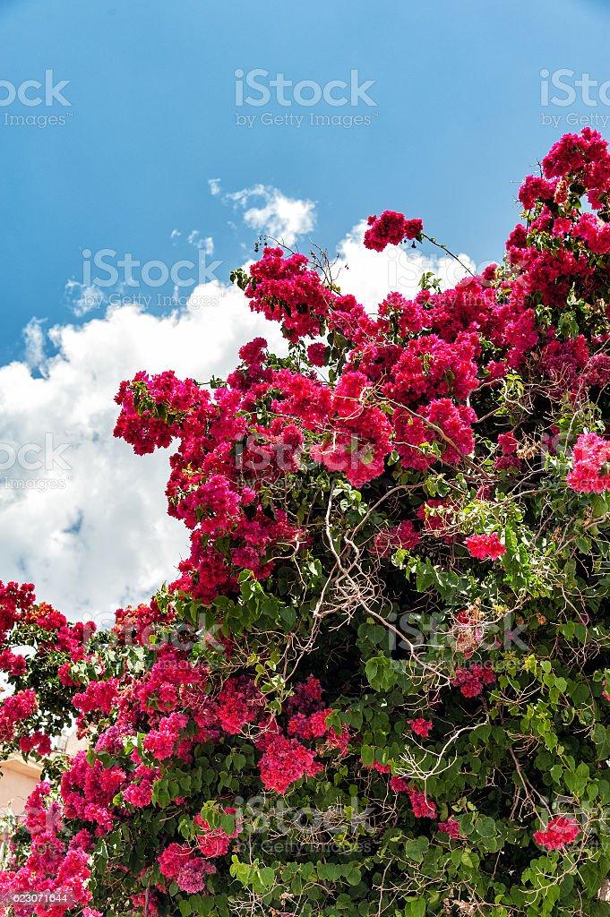 Bougainvillea paper flower in colorful color stock photo more bougainvillea paper flower in colorful color royalty free stock photo mightylinksfo