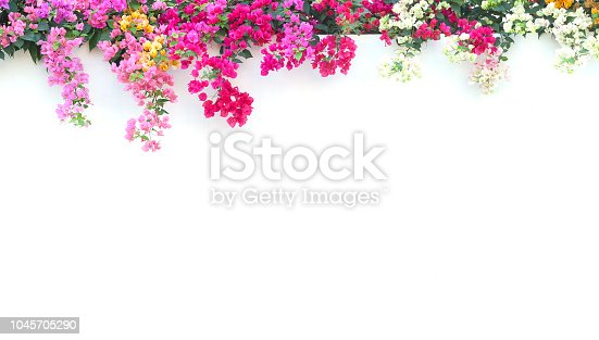 Bougainvillea On the white cement wall background.
