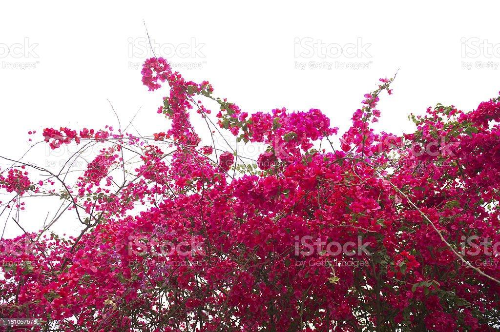 Bougainvillea stock photo
