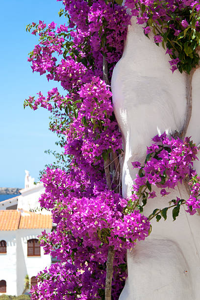Bougainvillier - Photo