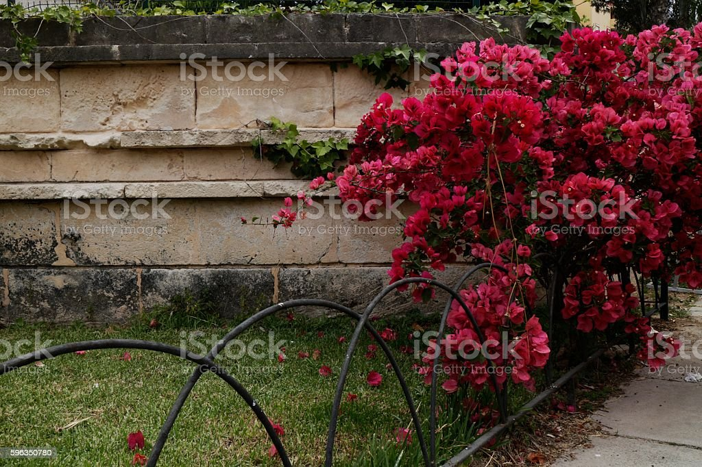 Bougainvillea royalty-free stock photo