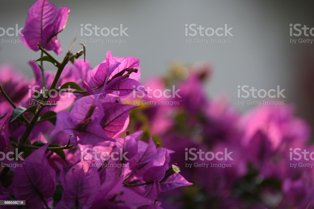 Bougainvillea foto stock royalty-free