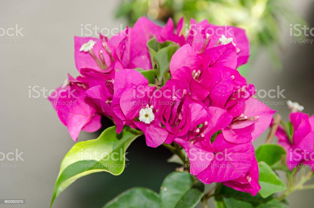 Bougainvillea pink ornamental flowers paper flower branch with green bougainvillea pink ornamental flowers paper flower branch with green leafs in a pot royalty mightylinksfo