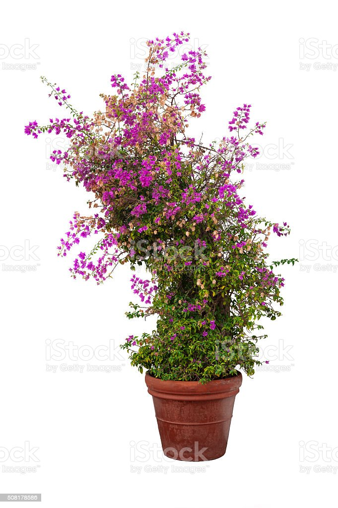 Bougainvillea plant on white background stock photo