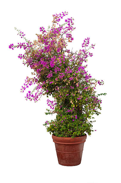 Buganvilia planta sobre fondo blanco - foto de stock