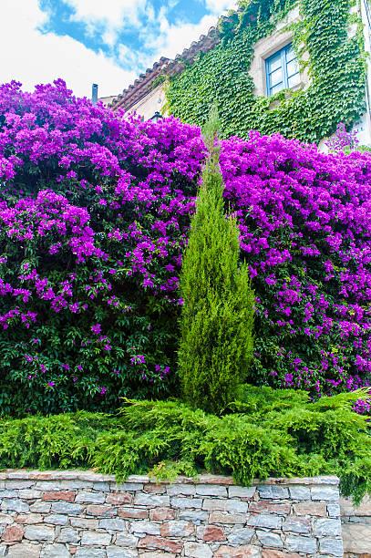 Buganvilia planta - foto de stock