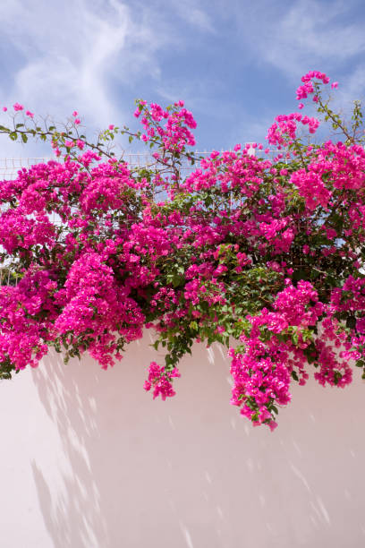 Royalty free pink climbing flowers bougainvillea pictures images bougainvillea plant stock photo mightylinksfo