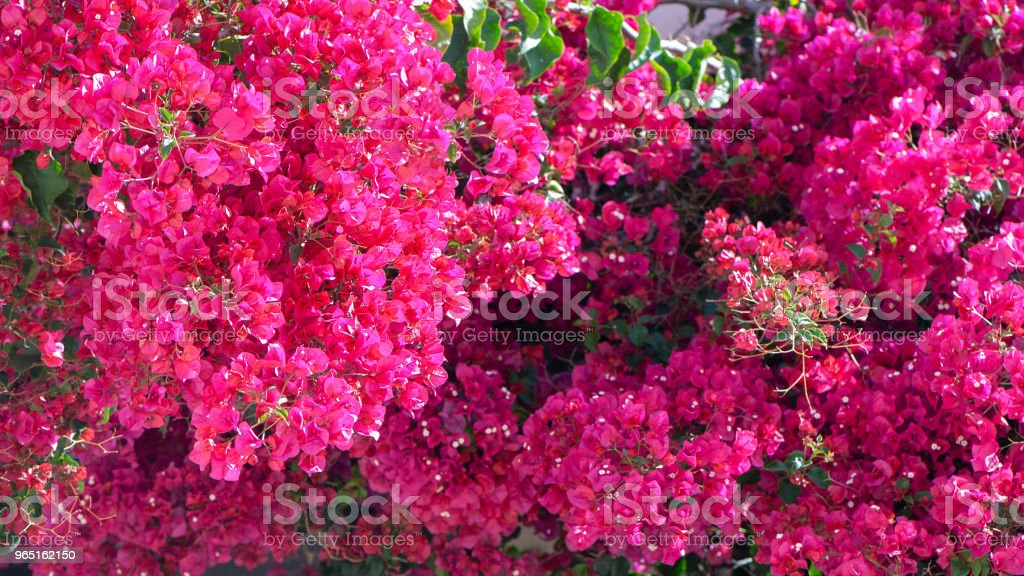 Bougainvillea,  red flowers, texture, background zbiór zdjęć royalty-free