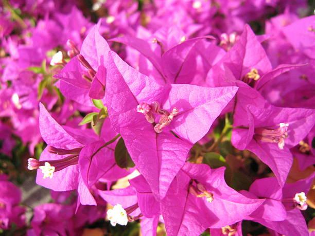 bougainvillea - sea of flowers - fsachs78 stockfoto's en -beelden