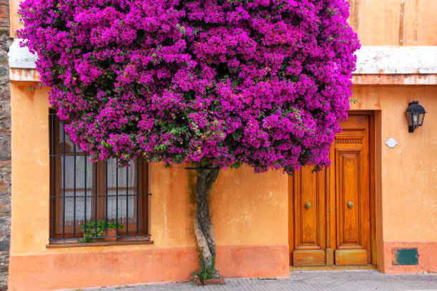 Bougainvillea tree growing by the house, Colonia del Sacramento, Uruguay stock photo