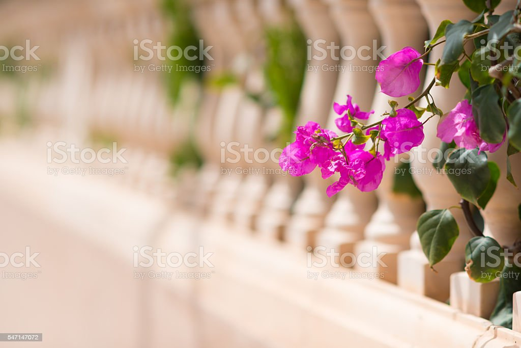 bougainvillea twig at balcony in spain - Photo