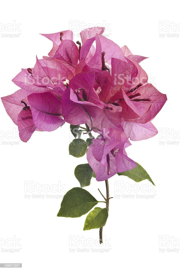 Bougainvillea with pink blossoms isolated on white background stock photo