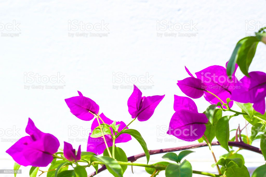 Bougainvillea with whitewashed painted wall background. – zdjęcie