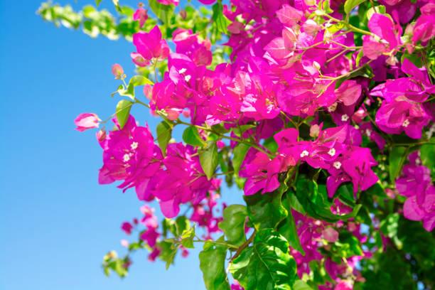 bougainvilleas beautiful flowers stock photo stock photo