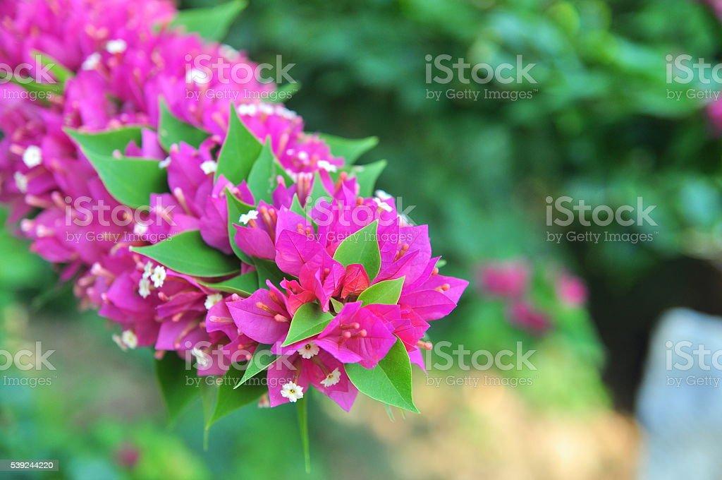Bougainvilleas flores foto de stock libre de derechos