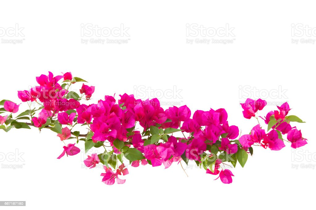 bougainvilleas isolated on white background. – Foto