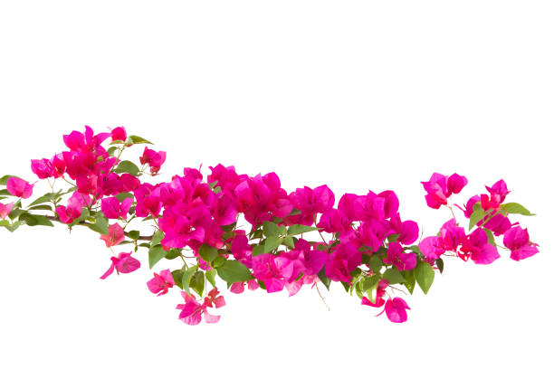 bougainvilleas isolated on white background. - foto de stock