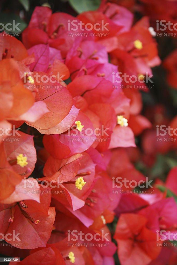 Bouganvillea blossoms stock photo