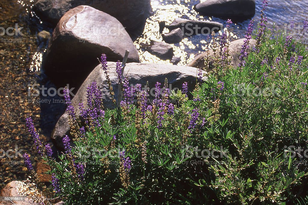 Boulders and wildflowers along Tuolumne River Yosemite National Park California stock photo