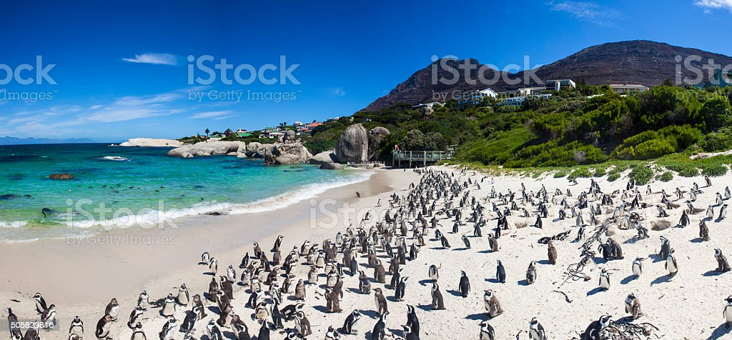 Boulders beach Cape Town penguin farm south africa stock photo