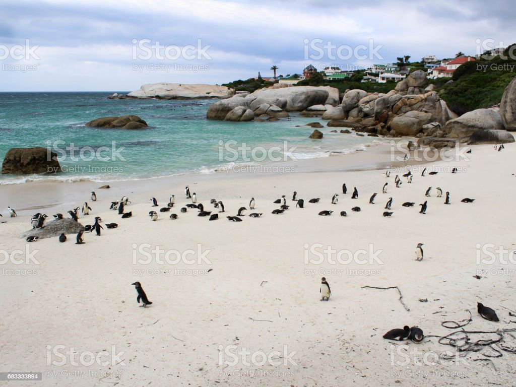 Boulders Beach Penguins with newly hatched chicks royalty-free stock photo