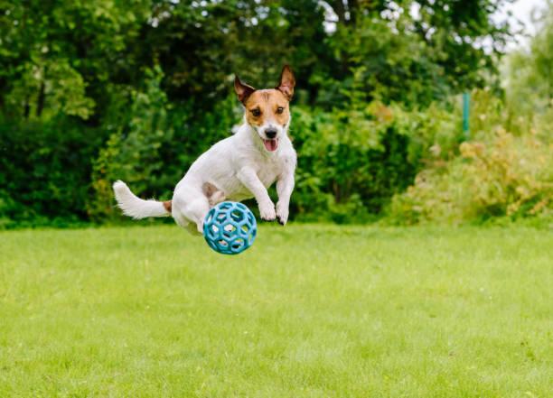 Bouncing dog playing at back yard jumping with toy ball picture id654153186?b=1&k=6&m=654153186&s=612x612&w=0&h=utopmggfpfx04gp1j8 exlljbiufjrnqujybowvnglq=