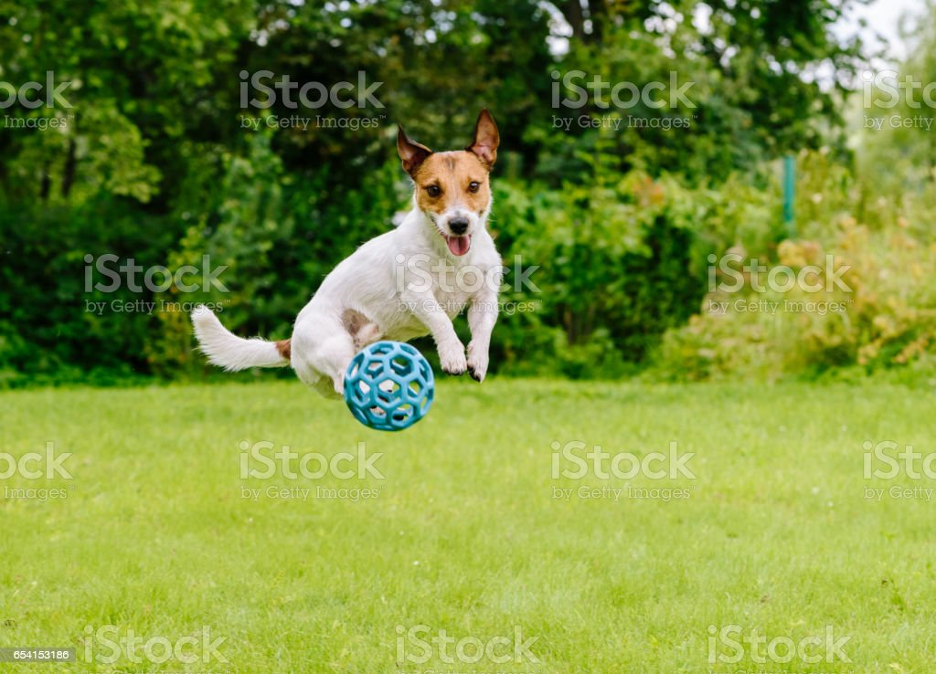 Bouncing dog playing at back yard jumping with toy ball stock photo