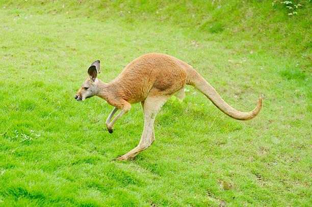 Hüpfen kangaroo – Foto