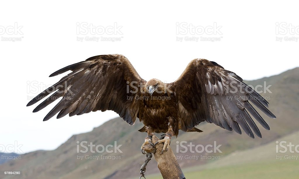 bound golden eagle royalty-free stock photo