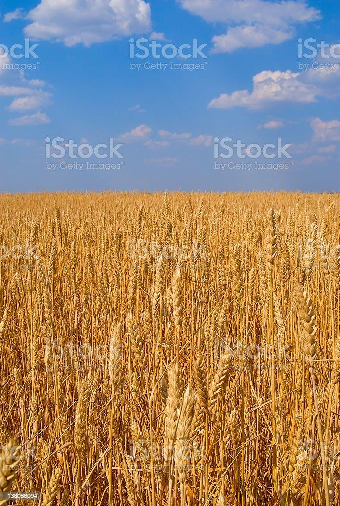 Boundless field of wheat stock photo