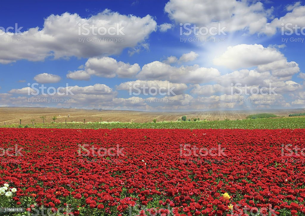 Boundless field with flowers royalty-free stock photo