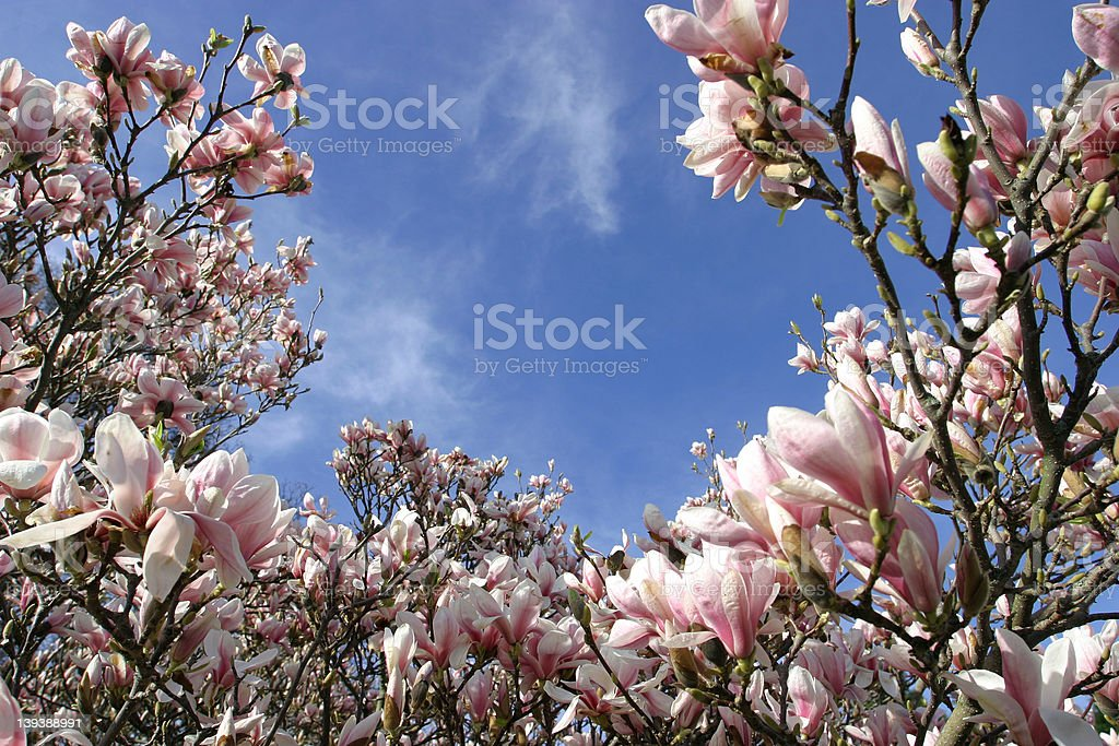 Bountiful Beautiful Magnolias royalty-free stock photo