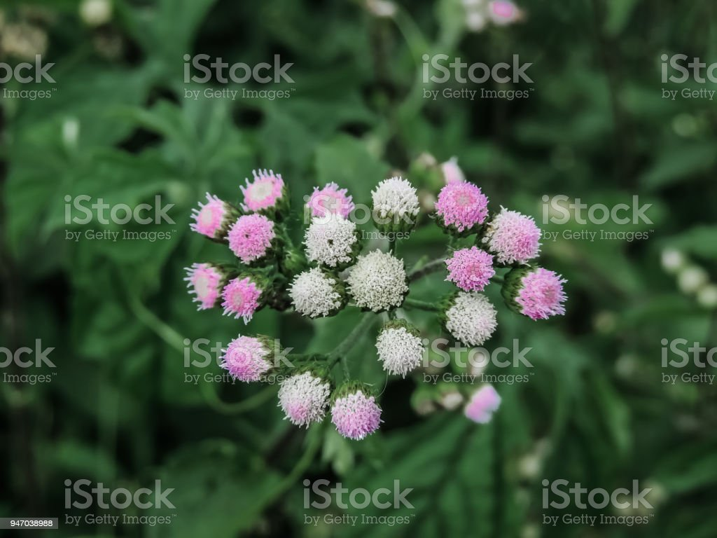 Bouqu Of Little Pink And White Flowers Stock Photo More Pictures