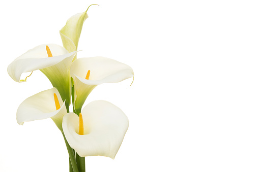 Bouquet blooming calla lilly flowers isolated on a white background with copy space