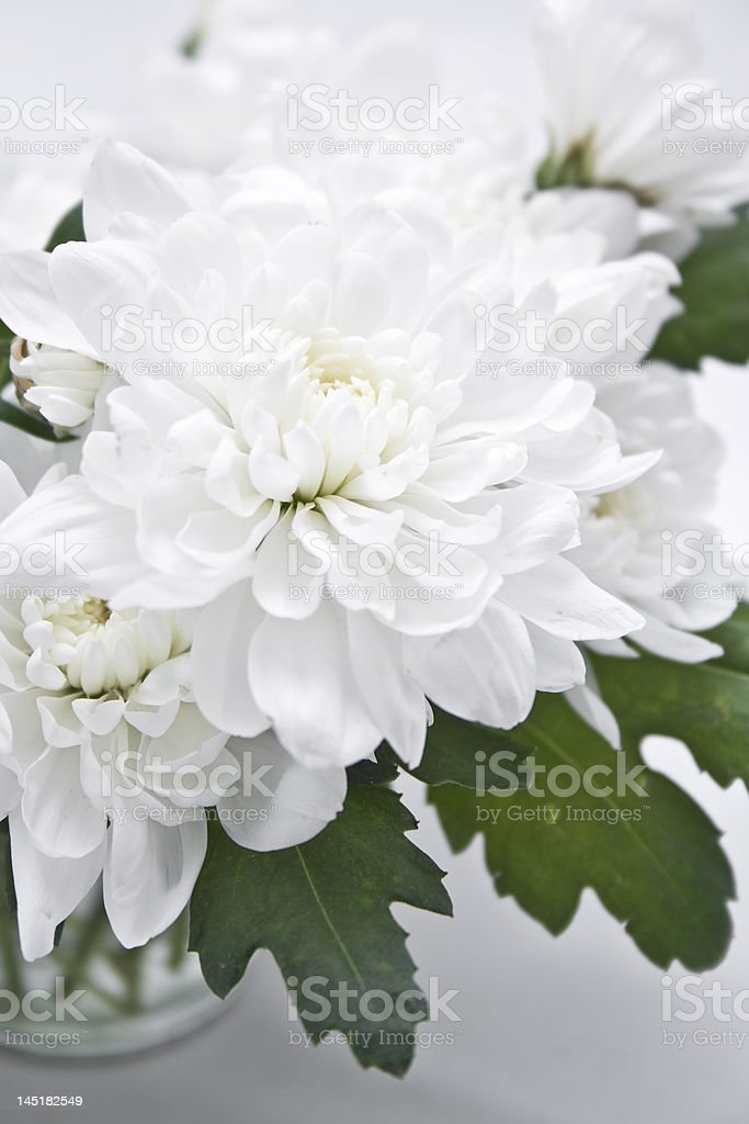 bouquet  chrysanthemum flower stock photo